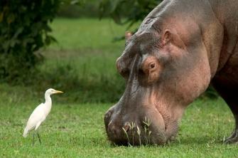 Mvuu Hippo